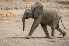 Cute baby elephant on the run. A baby elephant on the run in the Southern Luangwa National park stock photo