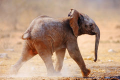 Baby elephant running. Over dusty soil; Loxodonta Africana; Etosha Stock Photo