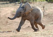Baby Elephant Running. Excited baby African elephant running to a waterhole royalty free stock images