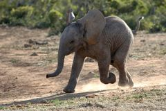 Baby Elephant Running Royalty Free Stock Image