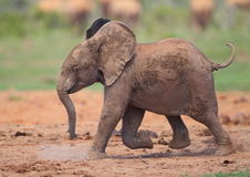 Baby Elephant running Royalty Free Stock Photos