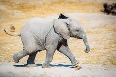 Baby elephant running sideways royalty free stock images