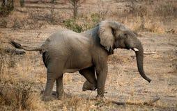 A baby elephant runs away. Zambia. Lower Zambezi National Park. Stock Image