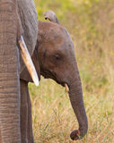 A Baby Elephant with it´s mother Stock Photography