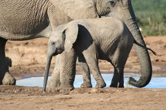 Baby Elephant with it's mother. At the wateringhole stock images