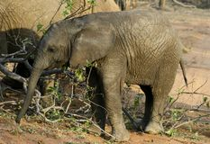 Baby elephant. In the savanna - south africa Stock Image