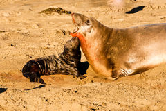 Free Baby Elephant Seal Royalty Free Stock Image - 22667836