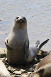 Baby Elephant Seal Stock Photography