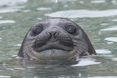 Free Baby Elephant Seal In The Waer South Georgia Stock Photography - 89217682