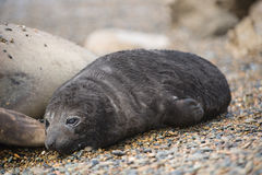 Baby elephant seal in patagonia. Royalty Free Stock Photos
