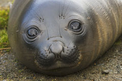 Baby Elephant Seal in South Georgia. The eyes of a baby Elephant Seal in South Georgia Stock Image