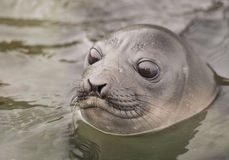 Baby Elephant Seal in the waer  South Georgia Royalty Free Stock Image