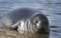 Baby elephant seal in water Royalty Free Stock Photography