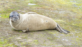 Baby Elephant Seals Stock Photography
