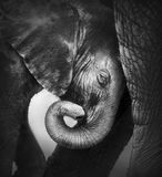 Baby elephant seeking comfort. Against mother's leg - Etosha National Park royalty free stock photography