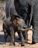 Baby elephant shaking off mud. Seen in the kruger national park a herd of elephants had a mud bath. This baby was trying to shake the mud off Stock Photos