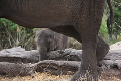 Baby elephant shelters under his mum Royalty Free Stock Images