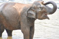 Baby elephant showering itself in river stock images