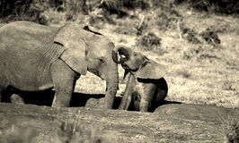 A baby elephant sitting and drinking. A black and white image of A young baby elephant calf and an older sibling interacting at a waterhole in Addo elephant Royalty Free Stock Photo
