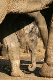 Baby Elephant Sleeping Stock Photos