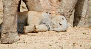 Baby Elephant Sleeping Royalty Free Stock Photo
