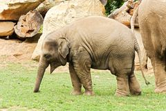 Baby elephant Royalty Free Stock Photos