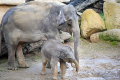 Baby elephant smile in mud with smilling mother elephant Stock Images