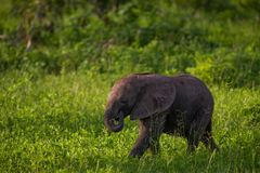 South Luangwa Baby Elephant. A baby elephant in South Luangwa munching on some grass Stock Photography