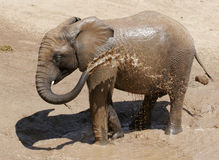 Baby Elephant with spraying himself with water. A baby elephant, spraying himself with water and playing in the mud royalty free stock photo