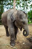 Baby elephant standing Royalty Free Stock Images