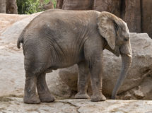 Baby Elephant Standing Alone. Young elephant standing alone in a natural environment Royalty Free Stock Images