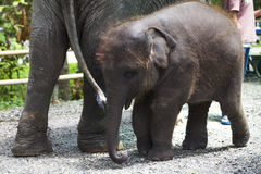 Baby elephant standing between the big legs of her mother Royalty Free Stock Photo