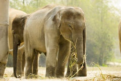Baby elephant standing with among elephant group Royalty Free Stock Image