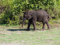 Baby elephant standing at green bush. On sunny day Stock Photo