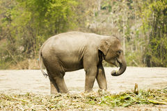 Baby elephant standing isolated nearby jungle, Thailand Royalty Free Stock Images