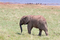 Baby elephant standing on the lush green plains in Bumi National Park. A cute baby elephant standing on the green plains in Bumi national park, with lake caribou Royalty Free Stock Photography