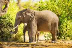 Baby Elephant Standing With Mother Stock Photos