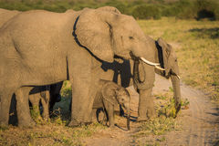 Baby elephant standing between parents on track Stock Images