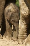 Baby elephant standing under its mother Royalty Free Stock Image