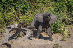 Baby elephant stepping clumsily over dead log Royalty Free Stock Images
