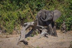 Baby elephant stuck on log waving trunk Stock Photos