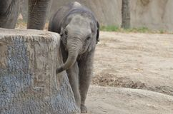 Baby elephant and stump Stock Photo