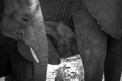 Baby Elephant sucking in black and white. Baby Elephant suckling in black and white in the Kruger National Park, South Africa royalty free stock images