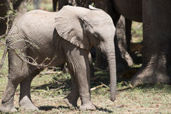 Baby Elephant in sun. Baby elephant soaking in the sunlight with herd Royalty Free Stock Photos