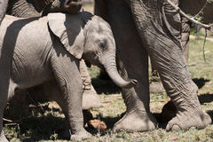 Baby Elephant in sun Royalty Free Stock Images