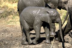 Baby elephant taking a bath in the mud royalty free stock photo