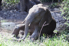 Baby elephant taking mud bath Royalty Free Stock Photo
