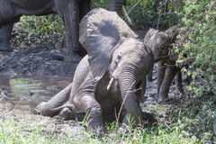 Baby elephant taking mud bath Royalty Free Stock Photography