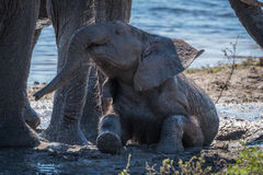 Baby elephant taking mud bath beside water Stock Images