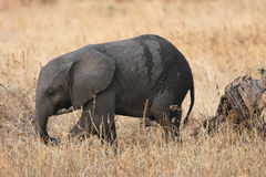 Baby elephant in Tarangire Park Stock Photo